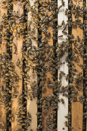stinger: Honeybees working at their hive