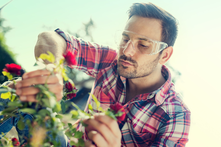 Gardener cuts dry branches of roses,selective focus