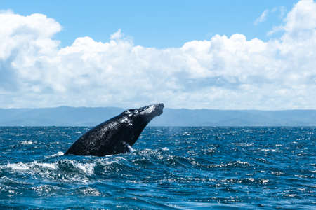 whale jumps in Dominican republic