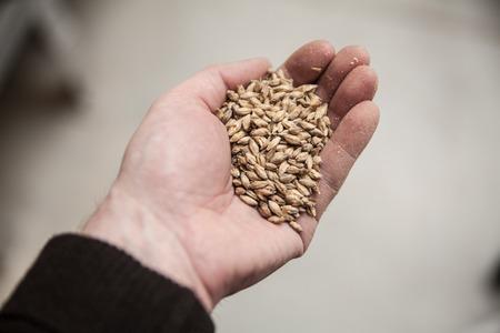 malted: Malt grains in mans hand. Beer production