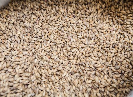 malted: Malt grains background. Ingredient for beer production