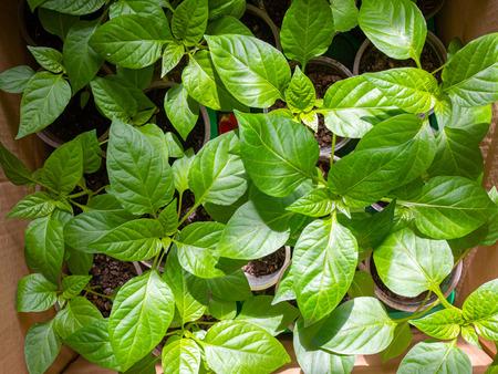 Green leaves of pepper seedlings in box