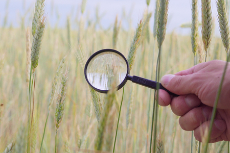 farmer or botanists hand with magnify glass tool closeup check examine inspect wheat spikelets of rye in agricultural field. Cereal breeding