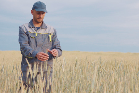 a young farmer checks the plants in a rye field. copy space