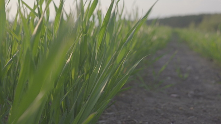 green field of young wheat. young wheat plants. Background.