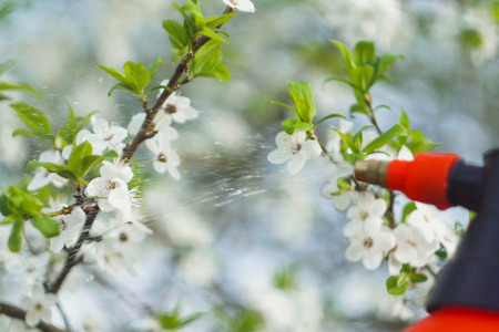 gardener with spraying a blooming fruit tree against plant diseases and pests. Use hand sprayer with pesticides in the garden. Stock Photo