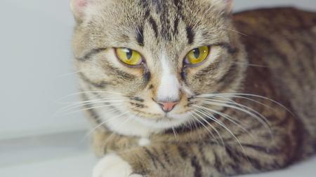 Close-up portrait of Bengal cat on white background Banco de Imagens