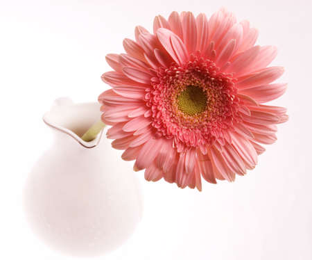 herbera: Pink herbera in white ceramic glass