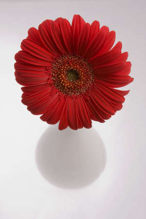 herbera: Red herbera in white ceramic glass