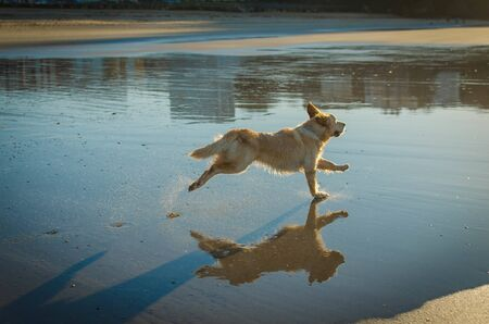 A golden retriever dog running in the beach