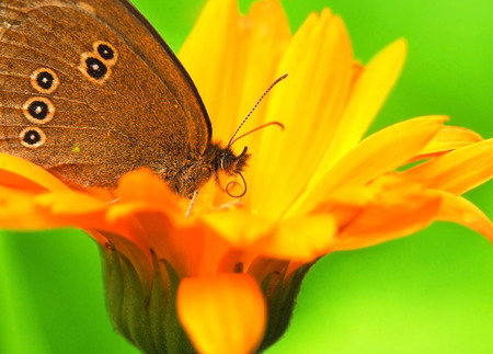 Close-up photo of Aphantopus hyperantus which sits on a calendula flower