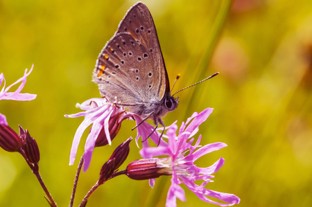 polyommatus icarus: Close-up photo of polyommatus icarus which sits on a flower Stock Photo