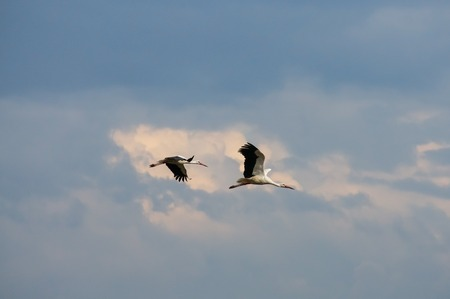 Two stork flying in the sky near the clouds photo