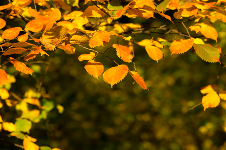yellow alder: Beautiful alder leaves and branches at sunset in autumn