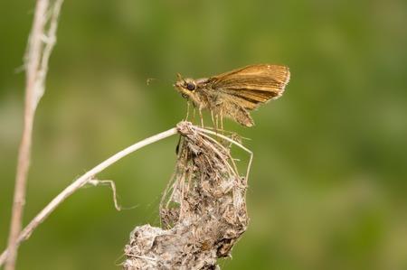 ochlodes: Petite Ochlodes Faunus butterfly sitting on a dry flower