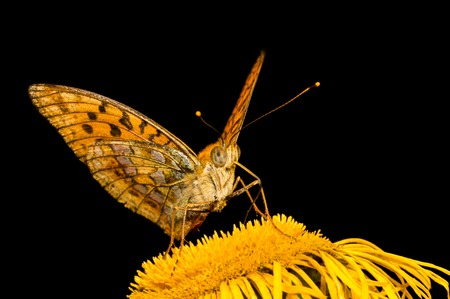 Close-up photo of butterfly Mesoacidalia Aglaia which drinks nectar from a flower