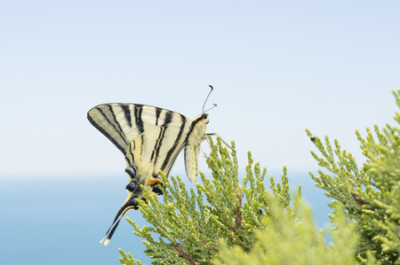 Beautiful Podalirius  butterfly sitting on a green leaf of juniper Stock Photo