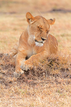 masai mara: Lioness lying in grass in Masai Mara, Kenya
