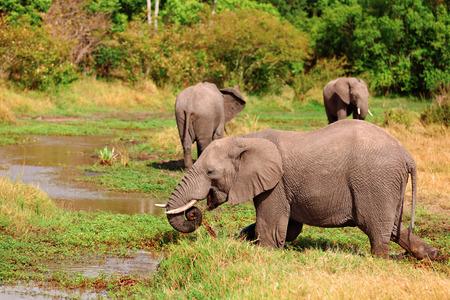 masai mara: Elephants at noon in Masai Mara national park in Kenya