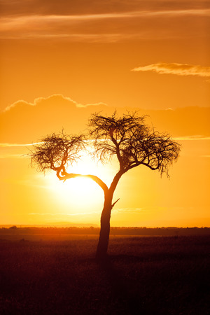 masai mara: Typical african sunset with acacia tree in Masai Mara, Kenya