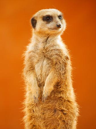 looking around: Meerkat looking around Stock Photo