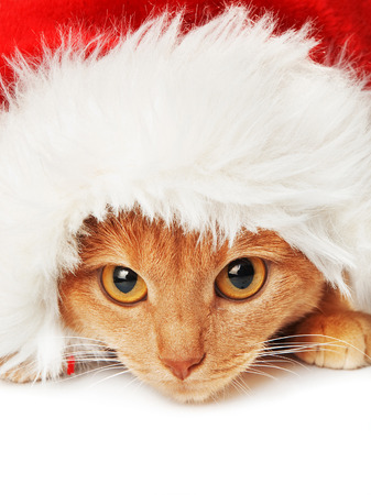 Cat with Santa hat on white background, looking at camera photo