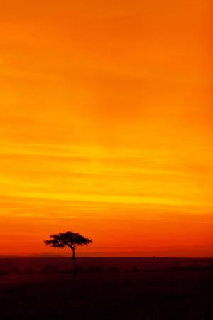masai mara: Typical african sunset with acacia trees in Masai Mara, Kenya