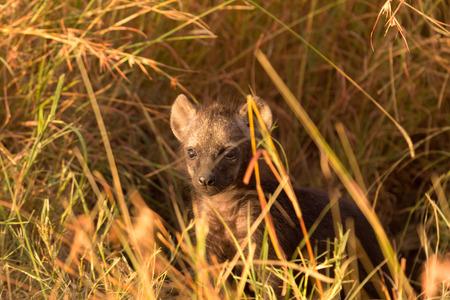 iene: Bambino macchiato iene appena uscito dal loro buco, Masai Mara