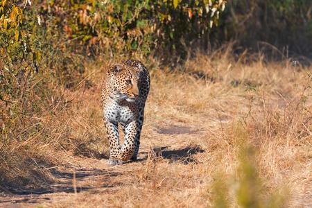 masai mara: Female leopard walking slowly and looking for its pray in Masai Mara, Kenya