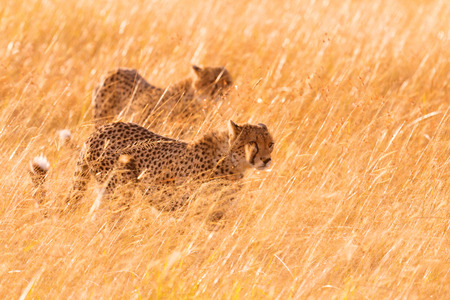 prowling: Two male cheetahs walking in grass and looking for pray in Masai Mara, Kenya