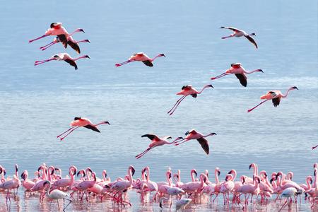Flamingo near Bogoria Lake, Kenya in february 2012 photo
