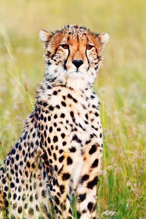 masai mara: Male cheetah sitting in grass and looking for its pray in Masai Mara, Kenya Stock Photo