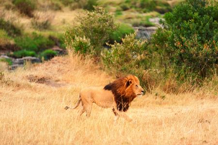 masai mara: Male lion portrait in Masai Mara, Kenya Stock Photo