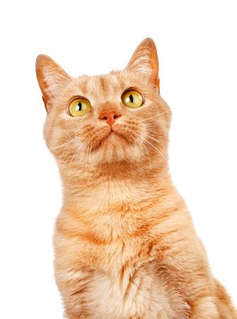 Redhaired Katze isoliert auf weißem Hintergrund, auf der Suche oben