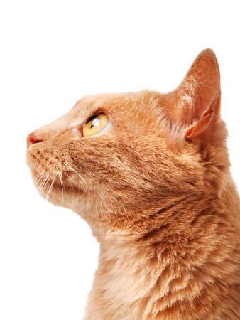 redhaired: Redhaired cat isolated on white background, looking aside