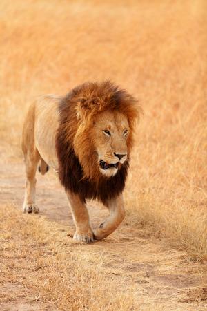 prowling: Male lion walking in grass in Masai Mara, Kenya Stock Photo