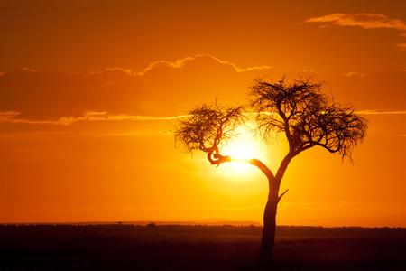 Typical african sunset with acacia tree in Masai Mara, Kenya