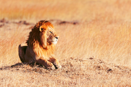 lion: Male lion lying in the grass at sunset in Masai Mara, Kenya
