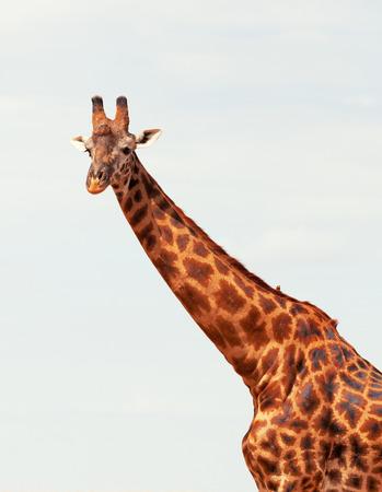 masai mara: Giraffe in Masai Mara, Kenya during the dry season