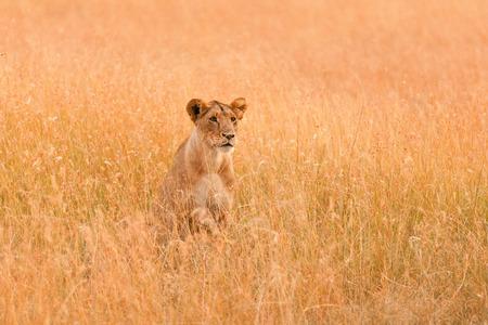 looking around: Female lion looking around in the grass in Masai Mara, Kenya