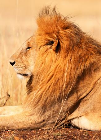 masai mara: Male lion lying in the grass at sunset in Masai Mara, Kenya