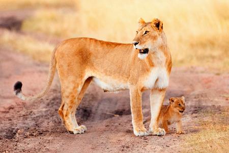 masai mara: Female lion with cubs in Masai Mara, Kenya