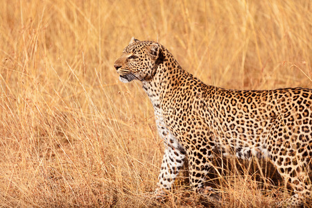 masai mara: Female leopard walking in grass and looking for its pray in Masai Mara, Kenya