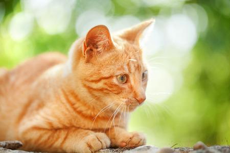 undomestic: Domestic cat outdoors Stock Photo