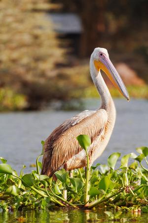 naivasha: One pelican near Naivasha Lake, Kenya