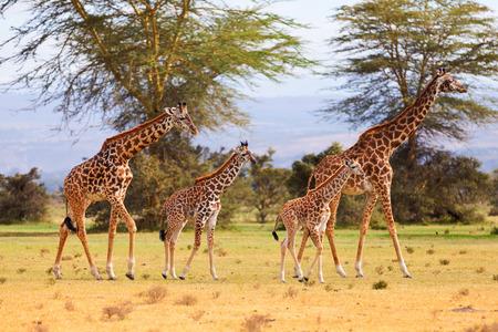 giraffe: Two giraffe families on safari desert