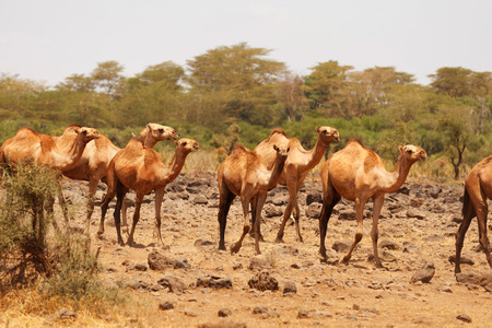 amboseli: Camels used for carrying heavy luggage in Amboseli national park,Kenya Stock Photo