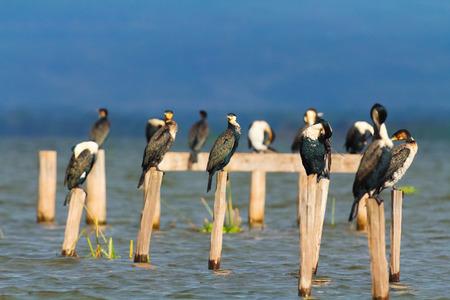 naivasha: Cormorants on a tree near Naivasha Lake, Kenya