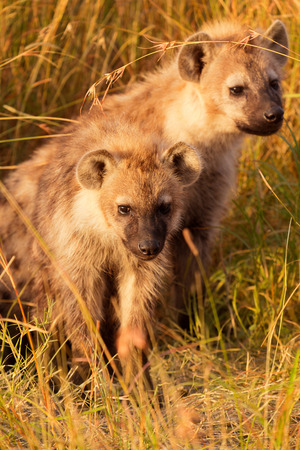 hienas: Bebé hienas manchadas acaba de salir de su agujero, Masai Mara