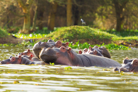 lake naivasha: Hippopotamus showing over the waters of Lake Naivasha Stock Photo